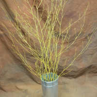 Dried Deco Branch - Gold 3-4ft