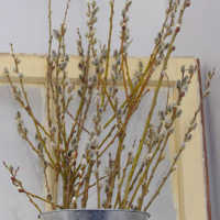 Fresh Pussy Willow Branches