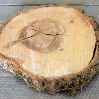 Elm Wood Slices - Large