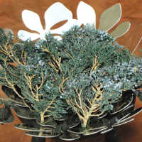 Preserved Juniper Mini Tips - Juniper Boughs