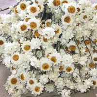 Dried Ammobium Flower Bunch or Winged Everlasting