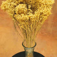 Dried Broom Bloom Flowers - Brooms Bloom