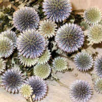 Dried Echinops Bunch or Globe Thistle