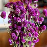 Dried Globe Amaranth - Purple