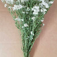 Dried Pearly Everlasting Bunch