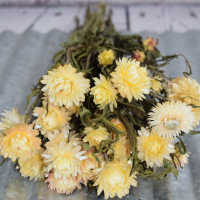 Dried StrawFlowers - Blush- Straw Flower