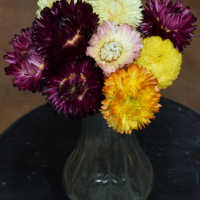 Dried StrawFlowers - Straw Flower