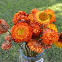 Dried StrawFlowers - Straw Flowers