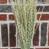 Dried Fan Grass - Arrow Grass
