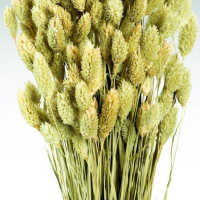 Dried Phalaris Grass - Canary Grass