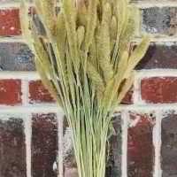 Dried Seteria Grass