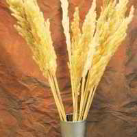 Dried Natural Pampas Grass - Short Stem