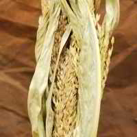 Dried Corn Maize Flowered