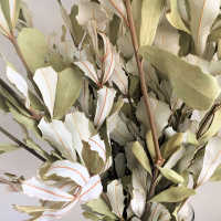 Natural Dried Integrifolia Bunch