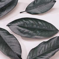 Preserved Magnolia Leaves - 200 Leaf Bulk Box