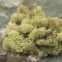 Preserved Reindeer Moss - Dried