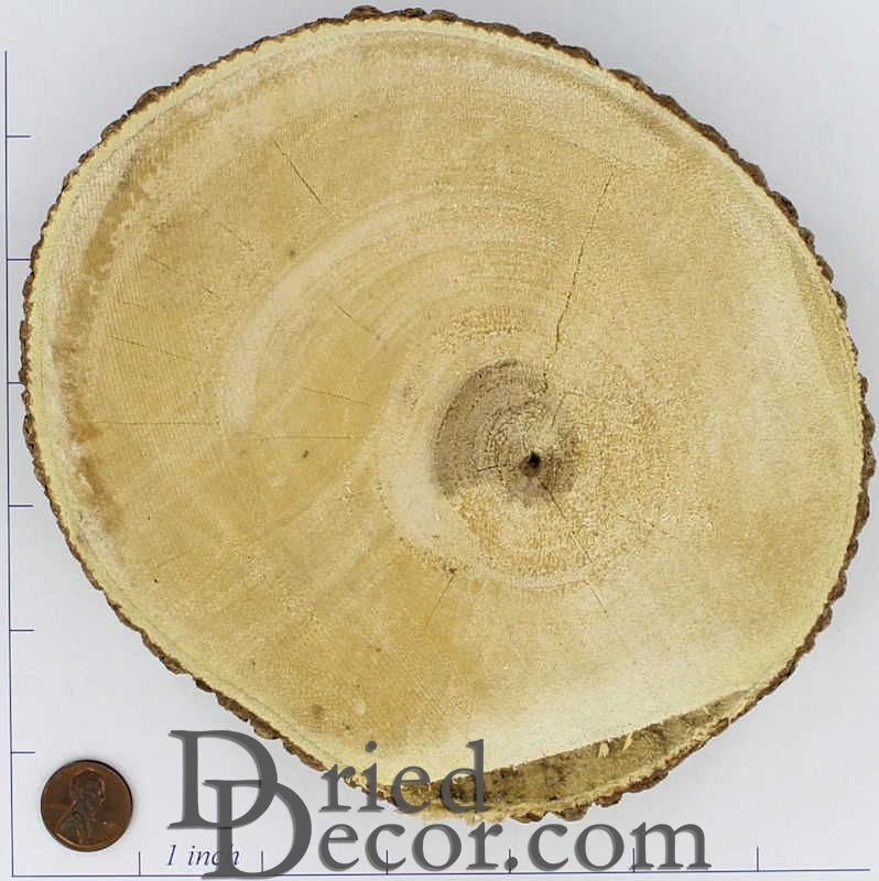 Tree Trunk Slices Large   Wood Slices For Sale Larger Image