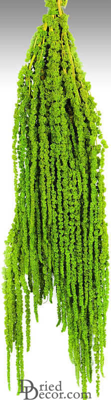 Hanging Amaranthus Preserved - Dried - Click Image to Close