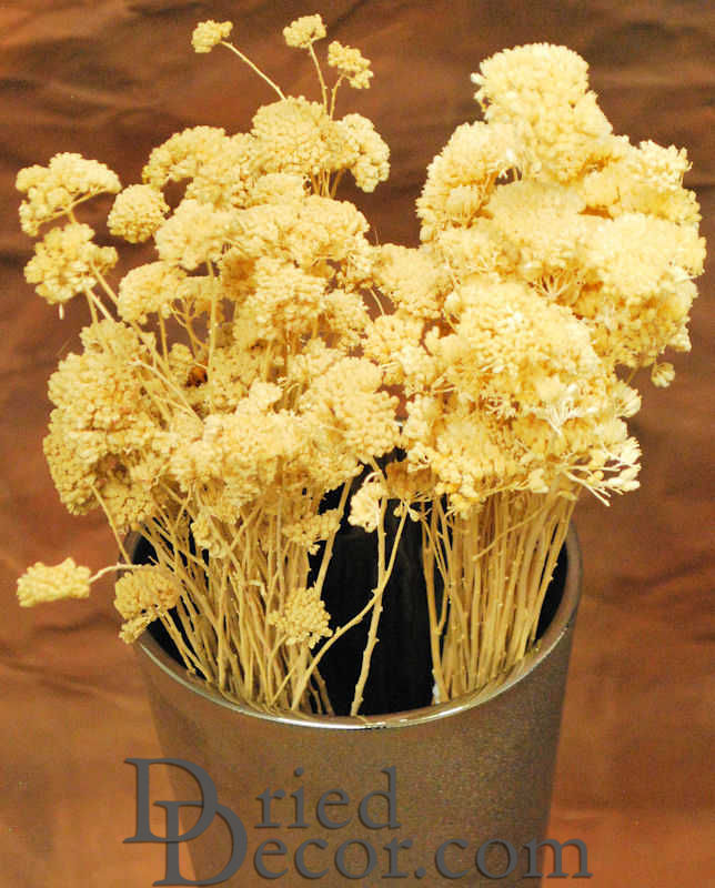 Dried Bleached Yarrow flower Bunches - Click Image to Close