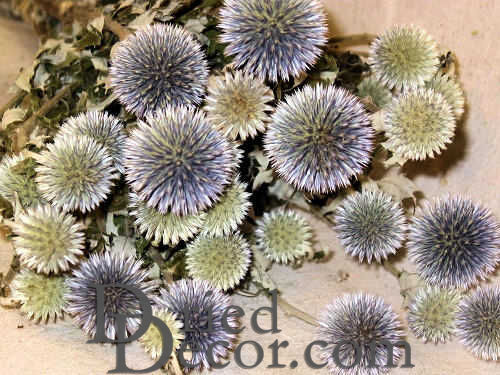 Dried Echinops Bunch or Globe Thistle - Click Image to Close