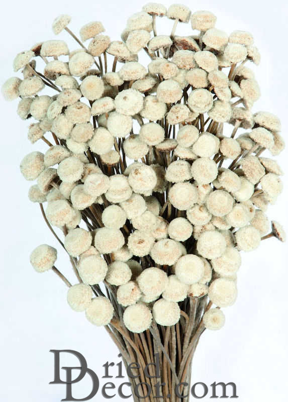 Dried Floral Button Flowers - Natural Color - Click Image to Close
