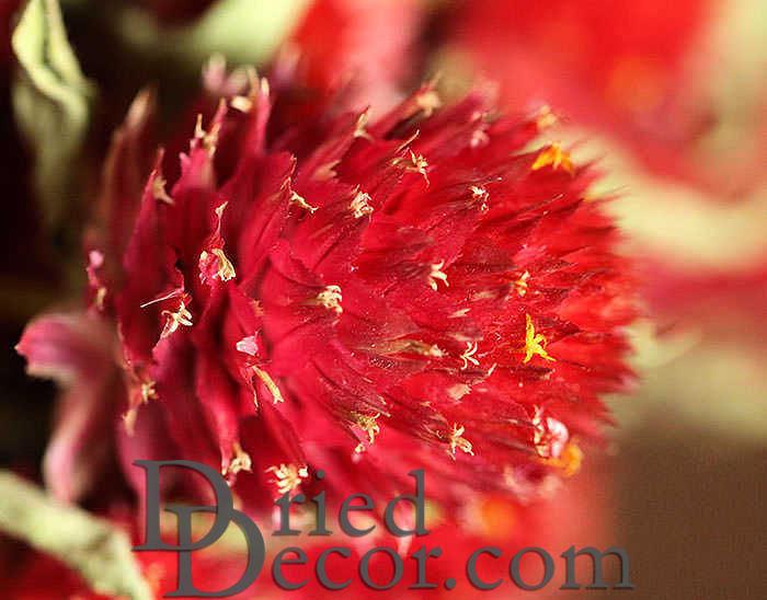 Dried Globe Amaranth - Red - Click Image to Close