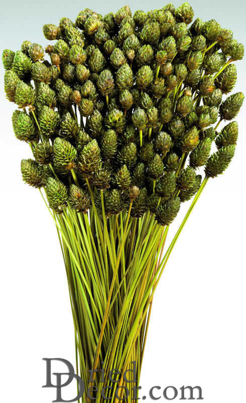 Dried Pineapple Button Flowers - Click Image to Close