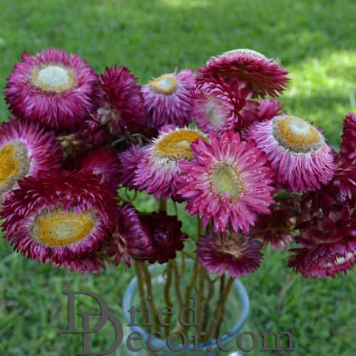 Dried StrawFlowers - Rose - Straw Flower - Click Image to Close
