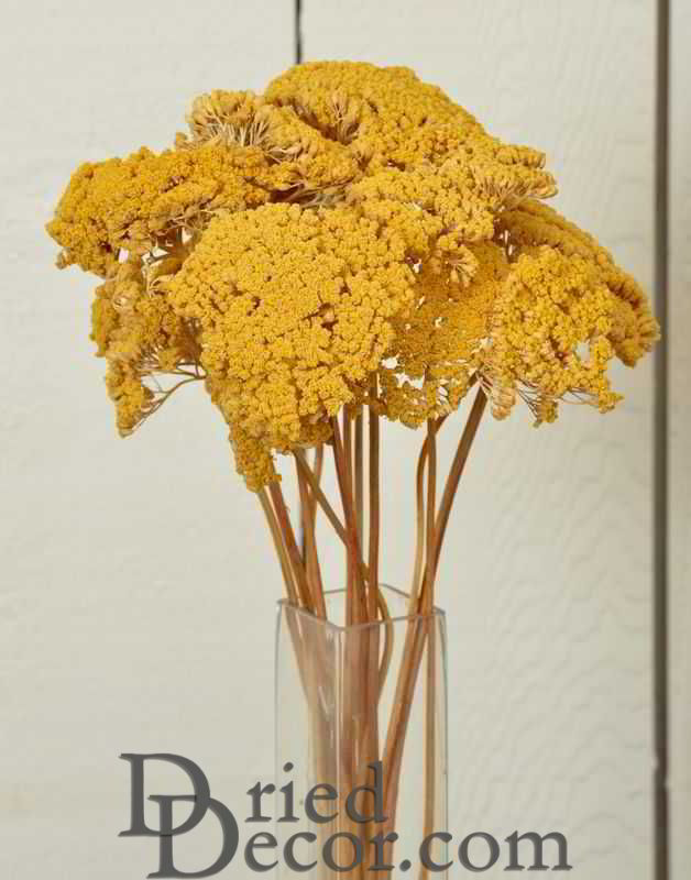 Dried Yarrow Bunches - Yellow - Click Image to Close