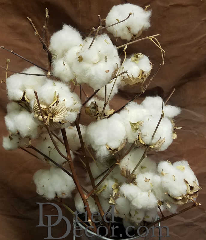 Dried Cotton Stalks - Click Image to Close