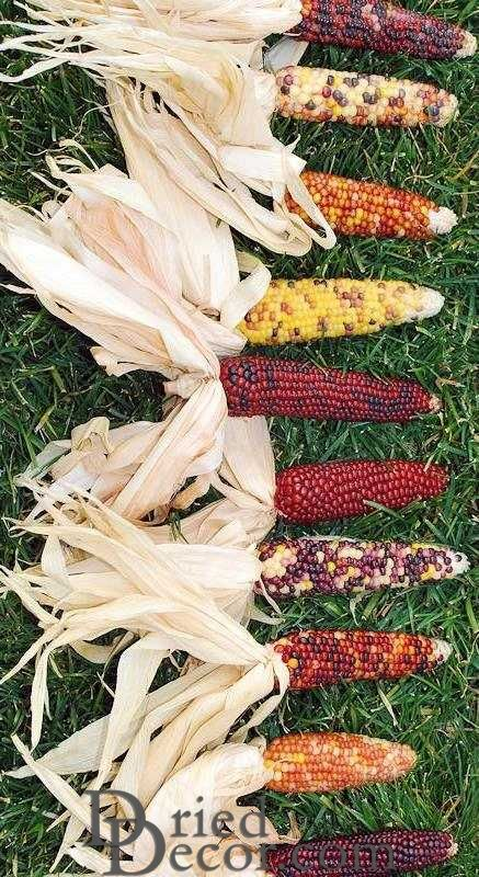 Mini Decorative Indian Corn - Click Image to Close