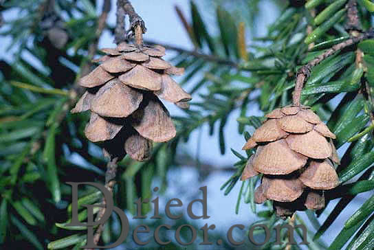 Eastern Hemlock Cones - Click Image to Close