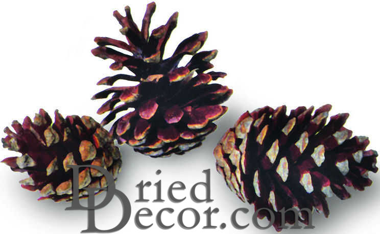 Jack Pine Cones - Natural - Click Image to Close
