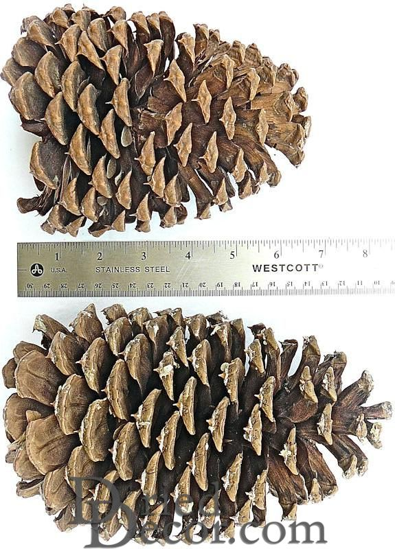 Jeffrey Large Pine Cones Pinecones