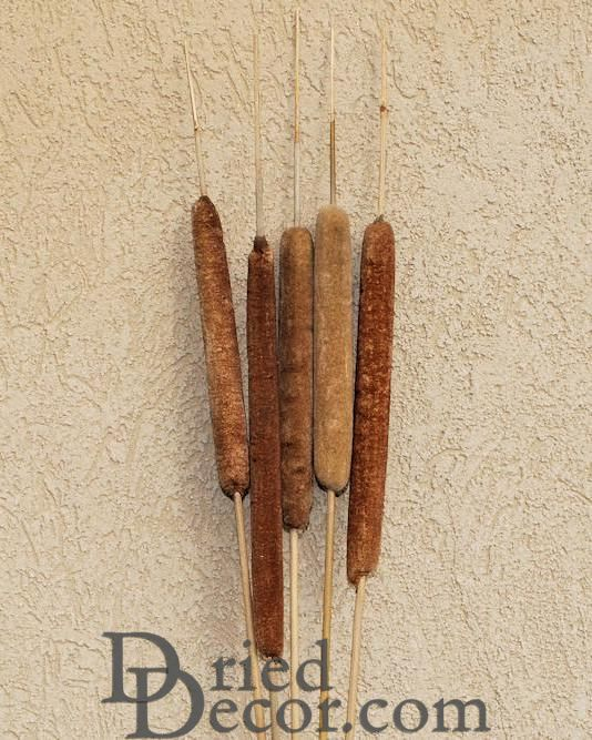 Large Dried Cattails (Cat tails) For Sale (Qty 5) - Click Image to Close