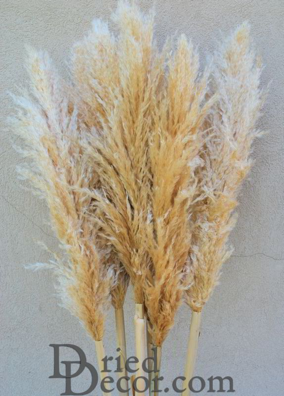 Dried Natural Pampas Grass - Click Image to Close