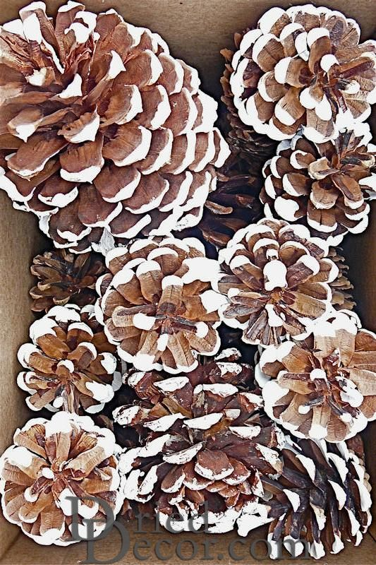 White Tipped Pine Cone - Assorted Box - Click Image to Close