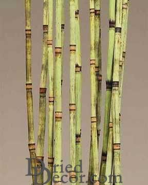 Decorative Equisetum Equisetum is