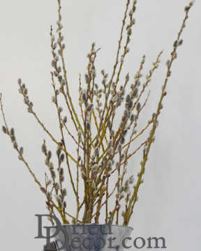 Dried Pussy Willow Branches