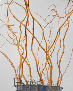 Fresh curly willow branches long stem for A decoration that is twisted intertwined or curled