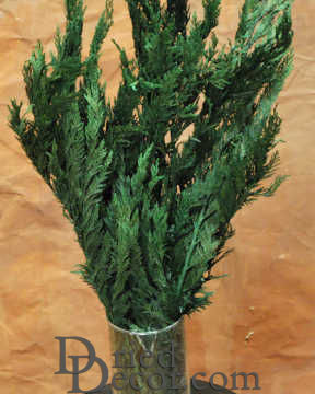 Preserved Cedar Tips - Cedar Boughs