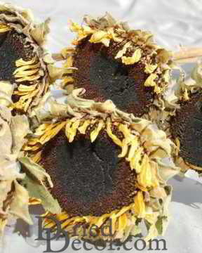Dried Sunflower Heads - Large [HM,717435001259]