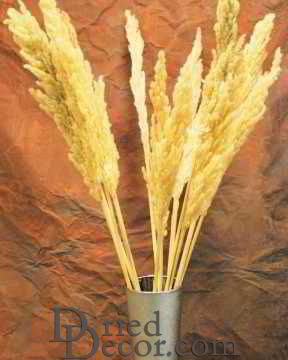 Dried Natural Pampas Grass - Eryanthus Short Stem