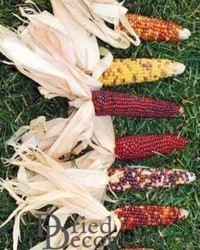 Mini Decorative Indian Corn