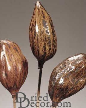 Dried Baobab Seed Pods Stemmed