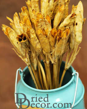 Dried Iris Pods