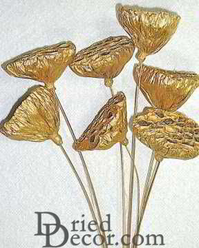 Gold Lotus Pods on Stems