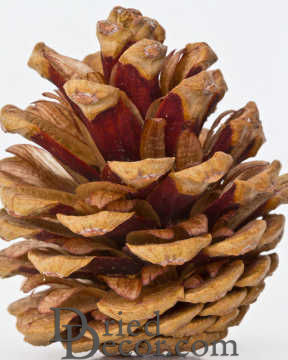 Red Pine Cones - Natural Red Cones