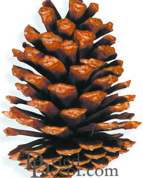 Large Slash Pine Cones - Natural