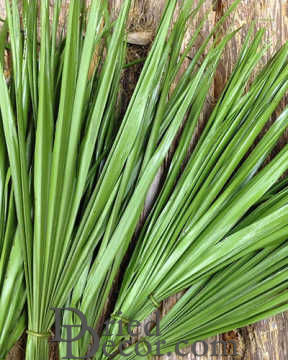 Dried Palm Leaf Bunch - Bulb Foliage